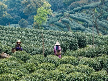 Harvesting Tea China