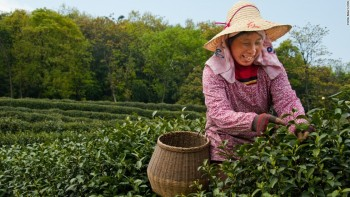 Woman Picking Tea on Tea Plantation